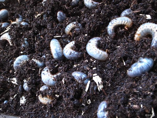 カブトムシ 二齢 幼虫