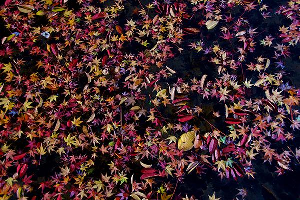 池に漂う紅葉