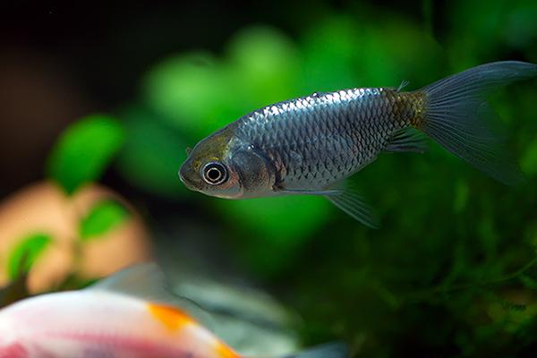 金魚じゃないよ銀魚だよ